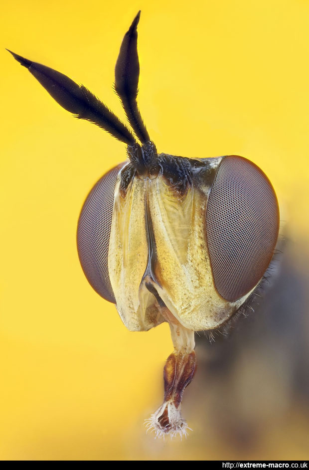 3/4 view of a hoverfly