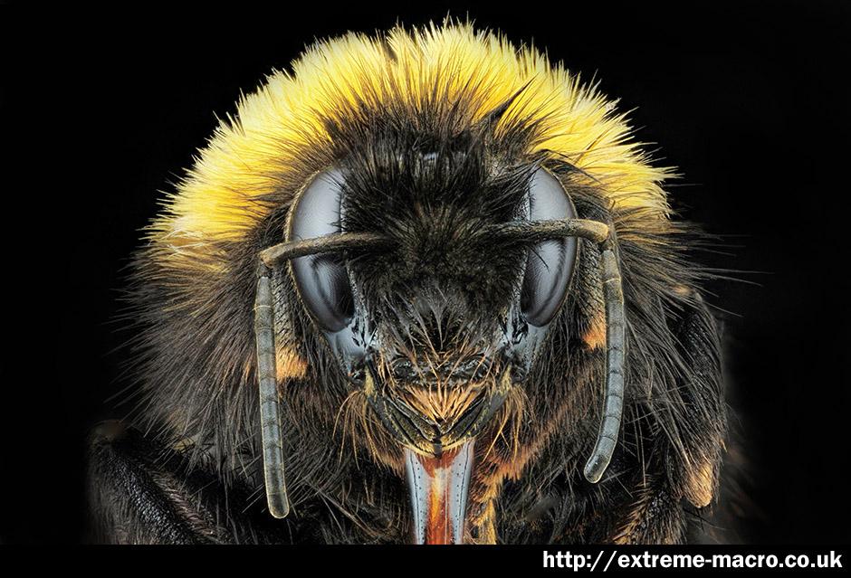 Extreme Macro Gallery - 'Bumblebee Queen' by Johan J Ingles-Le Nobel