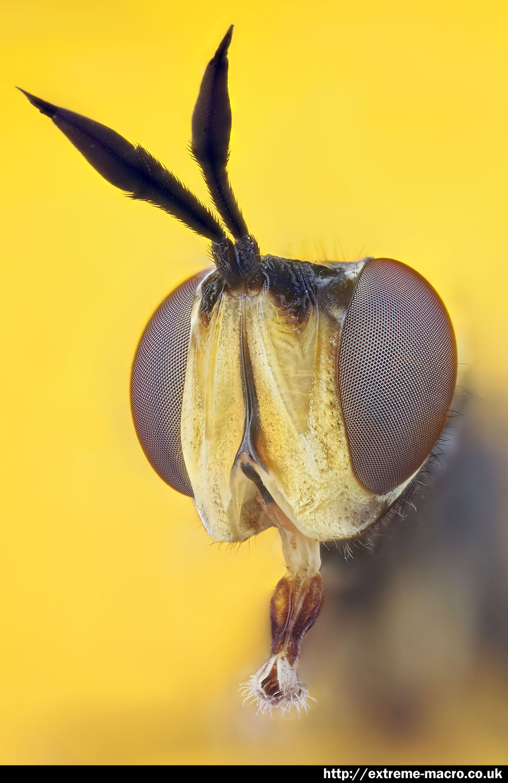 Extreme Macro Gallery - 'Macro Hoverfly' by Johan J Ingles-Le Nobel