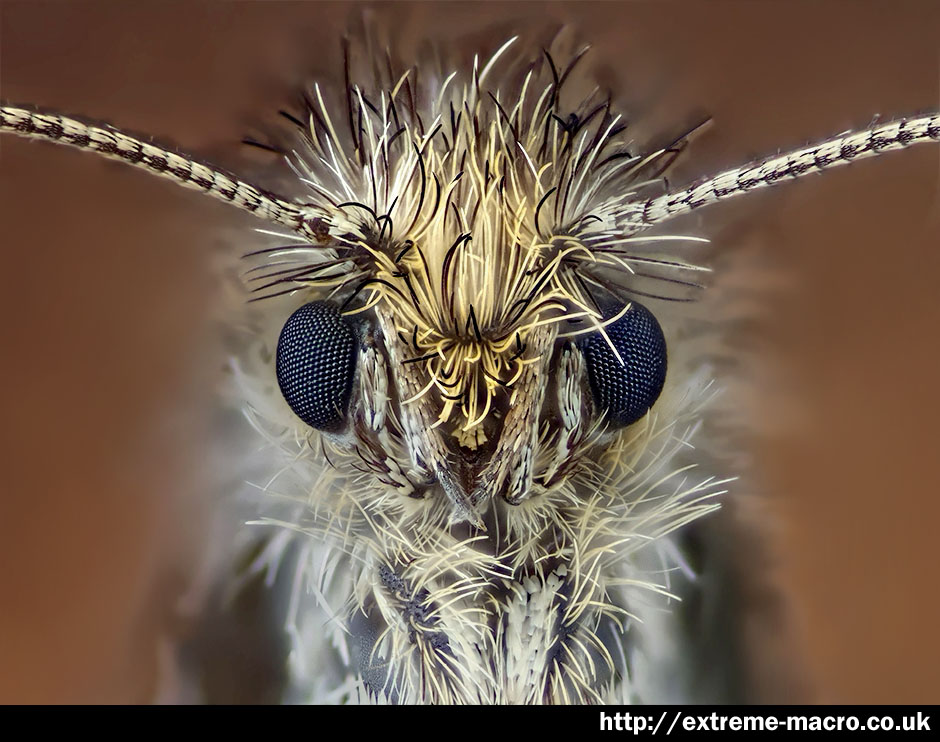 Extreme Macro Gallery - 'Micro Moth' by Johan J Ingles-Le Nobel