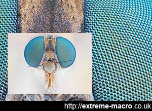 macro robberfly