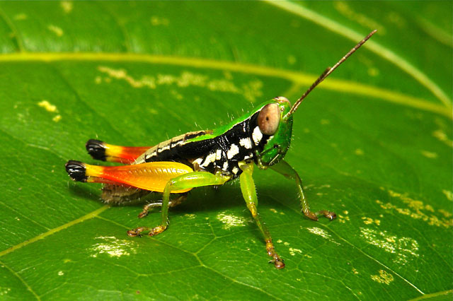 brachypterous grasshopper