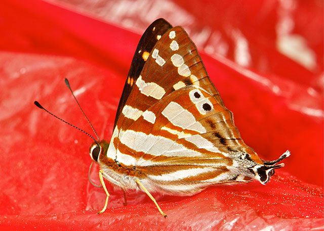 Orange Punch butterfly