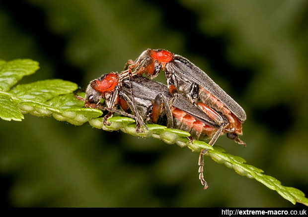 Soldier Beetle from the side