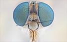 Extreme macro robberfly