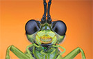 Extreme macro sawfly