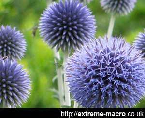 globe thistle planted for insects