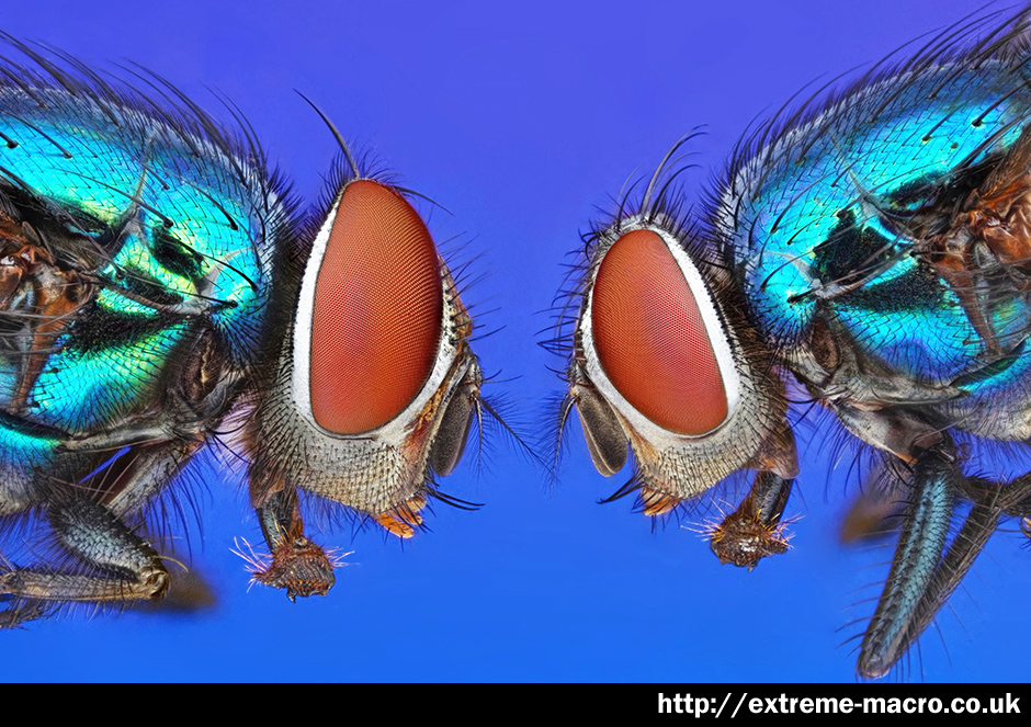 Extreme Macro Gallery - 'Two Fly Macro' by Johan J Ingles-Le Nobel